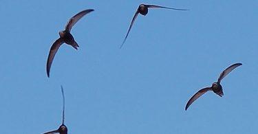 """Apus apus flock flying 1"" by Keta - Detail of Apus_apus_flock_flying.jpg. Licensed under CC BY-SA 3.0 via Commons - https://commons.wikimedia.org/wiki/File:Apus_apus_flock_flying_1.jpg#/media/File:Apus_apus_flock_flying_1.jpg"
