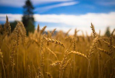 Buğday mı, Himmet mi? | Ha-Mim