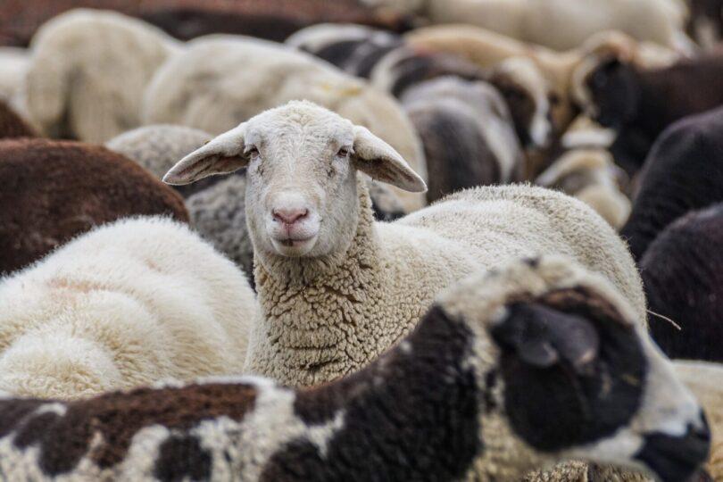 Koyun Davası | Ha-Mim